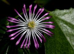 Delosperma floribundum