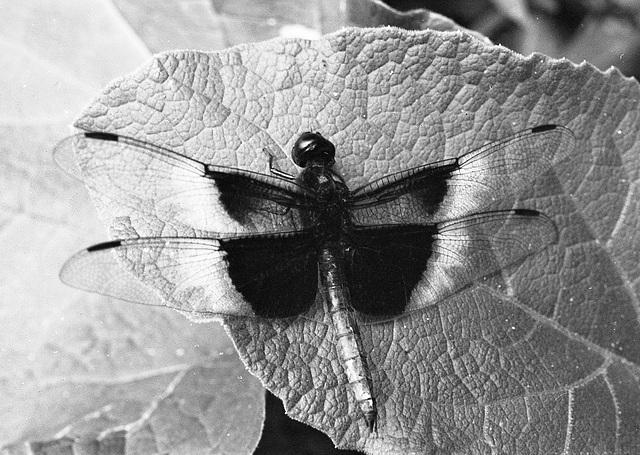 A dragonfly alight