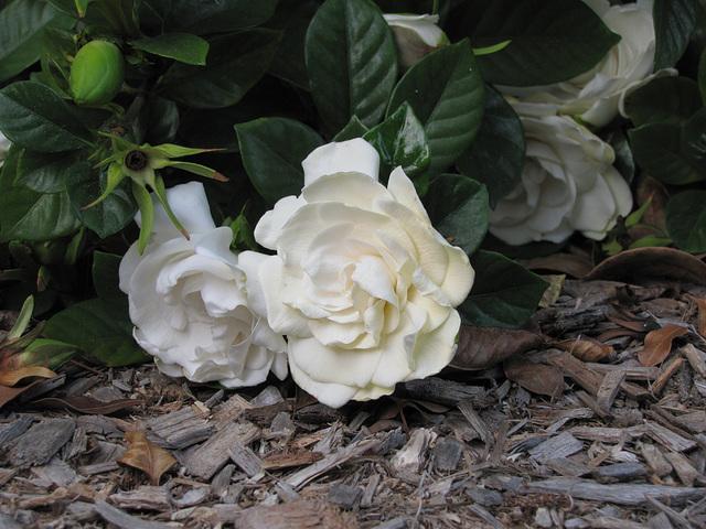 2011 .. beauty in white