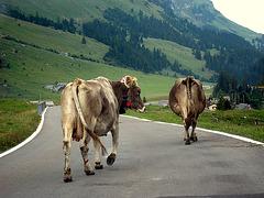 Ich will Kühe