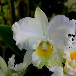 BLC Hybride blanche Hauserman ( x Empress Bells ) (2)