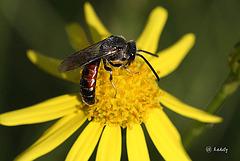 IMG 9322  Hymenoptera  -  Pompilidae