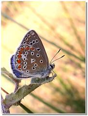 Polyommatus escheri (mâle).