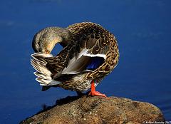 Canard colvert ( femelle )
