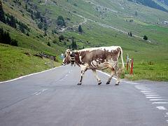 Gefleckte Kuh
