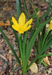 Stenbergia lutea