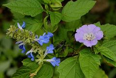 Salvia uliginosa et Nicandra