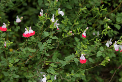 Salvia microphylla 'Hot Lips '