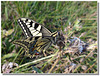 Papilio machaon butinant.