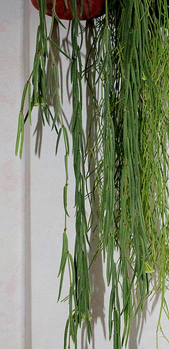 Hoya linearis (3)