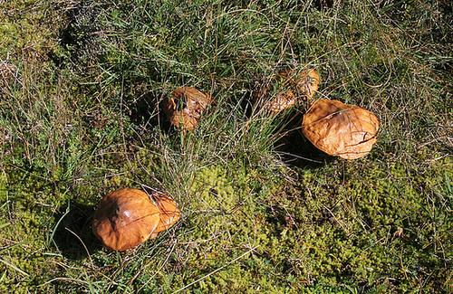 Bolet jaune - Nonnette voilée-Suillus luteus (2)