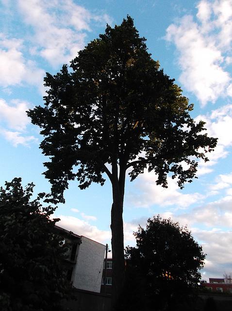 Arbre olympique / Olympic tree - 28 août 2012.