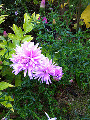 Aster ?