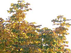 Kastanie im Herbstgewand