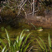 20120608 0559RAw [D~LIP] Wasserfrosch (Rana esculenta), UWZ, Bad Salzuflen