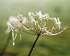 Icy cow parsley