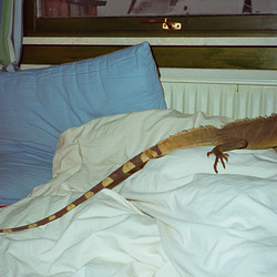 Brians Pet is/was long ago a Thai Water Dragon (Physignathus cocincinus)