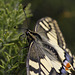 Machaon trompeur