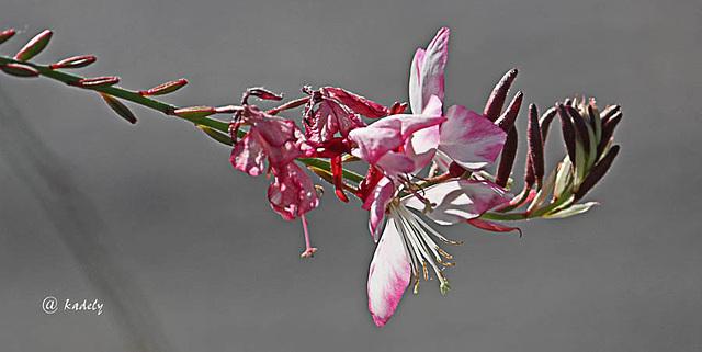 IMG 9378  fin de saison (fleur d'Agora)