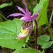Calypso bulbosa var. americana fma. rosea