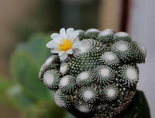 Blossfeldiana liliputiana (2)
