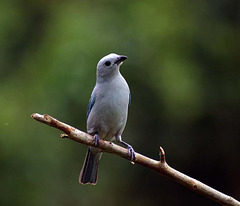 BLUE GRAY TANAGER LISTENING TO A MATE