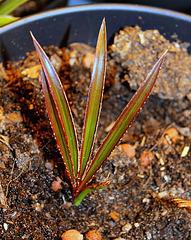 Latanier , après germination