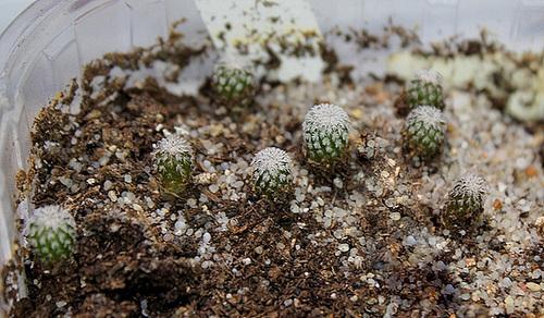 Plantules Epithelanta