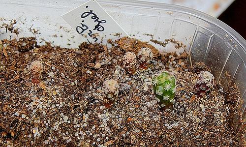 Plantules Turbinicactus