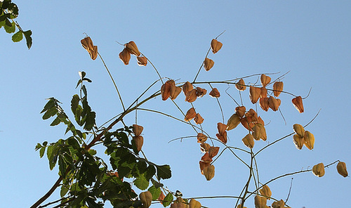 Koelreuteria paniculata - savonnier 13418605.9c6435ba.500