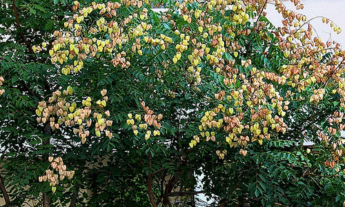 Koelreuteria paniculata - savonnier 13418607.baccea94.500