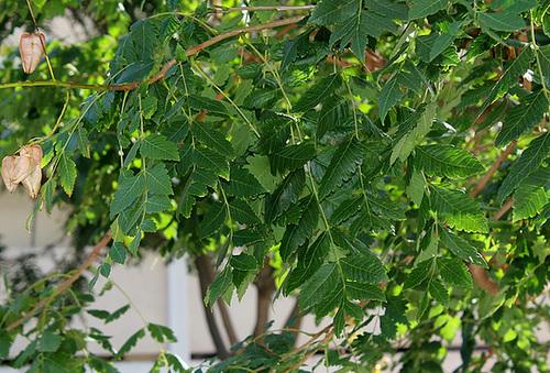 Koelreuteria paniculata - savonnier 13418610.28ece304.500