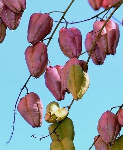 Koelreuteria paniculata - savonnier 13418611.fe4d8bd7.500