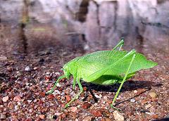 En el rancho La Peña de Jofre, Gto. se admiran diferentes especies de la entomología, como este Phyllium Bioculatum, conocido popularmente como: Insecto hoja:
