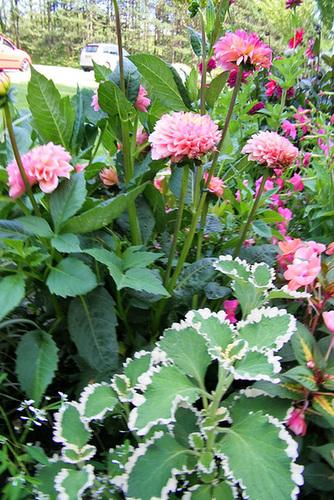 Dahlias et plantes vertes