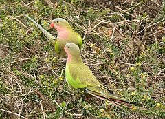 Princess parrots. Milieu naturel