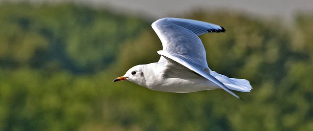 Mouette rieuse-013