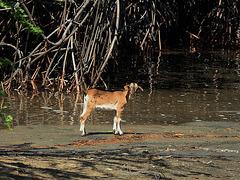 Chivito en el manglar
