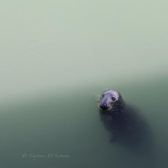 Phoque Irlandais