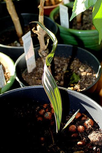 Bismarckia nobilis -7 mois