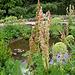 Rheum-(Rhubarbe )- en fleurs