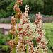 Floraison de Rheum