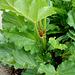 Rhubarbe du bord de bassin