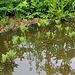 Menianthes ( Trèfle d'eau ) et reflets