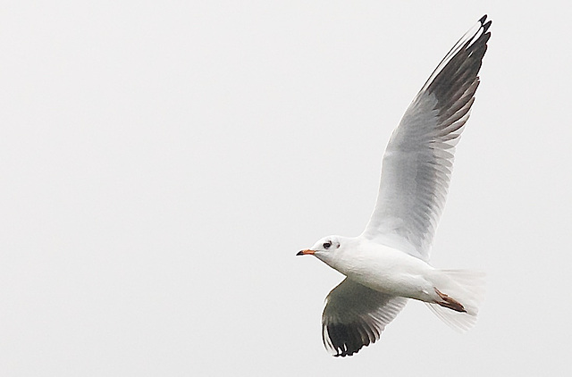 Mouette rieuse-10