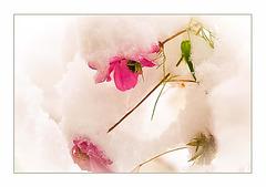 Cosemea Schneeblüten
