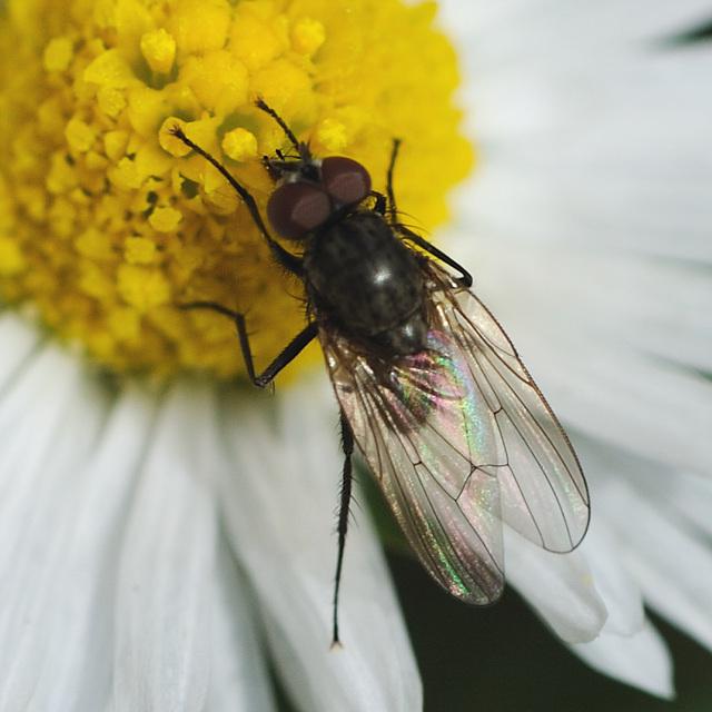 Macro d'une petite mouche...