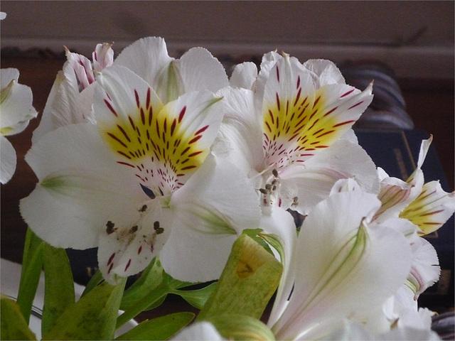 Flores blancas chilenas