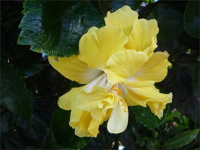Flor tica amarilla 1