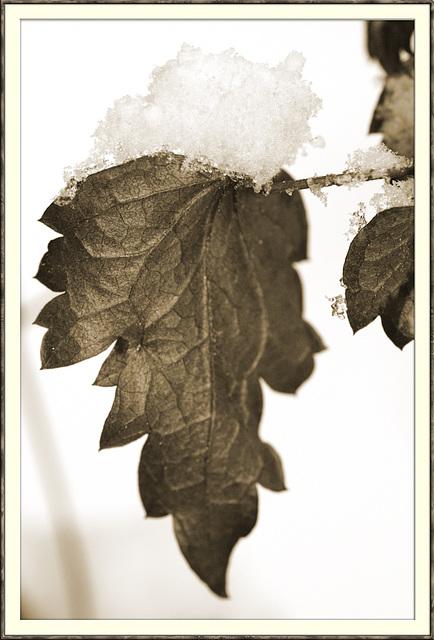 Ein Blatt im Winter ...